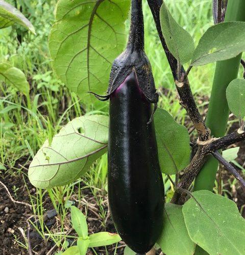 徒手自然療法室SORA SORAファームの野菜収穫